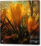 Crocus In Spring Bloom Acrylic Print