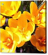 Crocuses In Yellow Acrylic Print