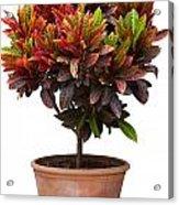 Croton Tree In Flowerpot Acrylic Print