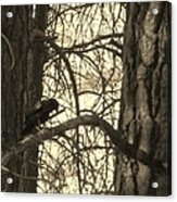 Crow In Thought Acrylic Print