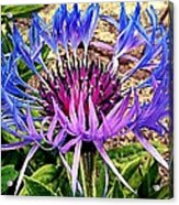 Crowned Beauty Acrylic Print by Kevin D Davis