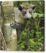 Crowned Lemur Eulemur Coronatus Female Acrylic Print