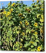 Crows In The Sunflowers Acrylic Print