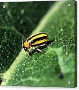 Cucumber Beetle Acrylic Print