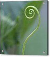 Cucumber Curly Tendril  Acrylic Print