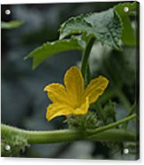 Cucumber Flower Acrylic Print