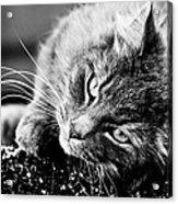 Cuddly Cat Acrylic Print