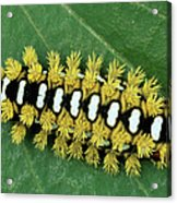 Cup Moth Limacodidae Caterpillar On Leaf Acrylic Print