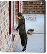 Curiosity Inspirational Cat Photograph Acrylic Print