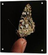 Curious Butterfly Acrylic Print