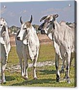Curious Cows Acrylic Print