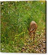 Curious Doe 9838 Acrylic Print