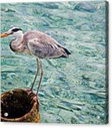 Curious Heron. Maldives Acrylic Print