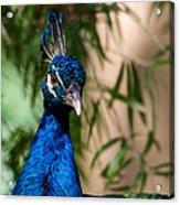 Curious Peacock Acrylic Print