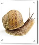 Curious Snail Acrylic Print by Elena Elisseeva