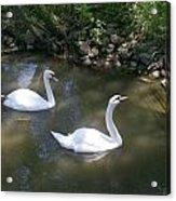 Curious Swans Acrylic Print