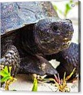 Curious Turtle Acrylic Print