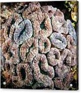Curler Coral Acrylic Print