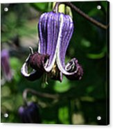 Curly Clematis Acrylic Print
