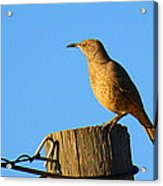 Curved Billed Thrasher Sitting On A Post Acrylic Print