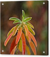 Cushion Spurge Acrylic Print