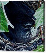 Cute Black Bird Mum Watching Over Her Eggs In Her Nest Acrylic Print