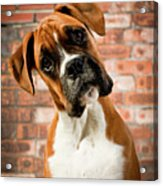 Cute Dog Acrylic Print by Danny Beattie Photography