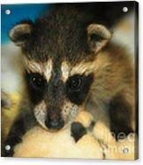 Cute Face Behind The Mask Baby Raccoon Acrylic Print