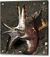 Cuttlefish With Tentacles Extended Acrylic Print