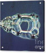 Cycladophora Goetheana Lm Acrylic Print by Eric V. Grave