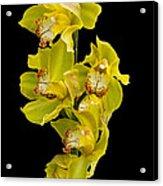 Cymbidium - Boat Orchid Acrylic Print