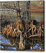 Cypress Knees Acrylic Print
