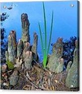 Cypress Knobs Acrylic Print
