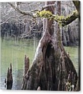 Cypress Stump #1 Acrylic Print