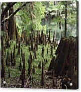 Cypress Stumps Acrylic Print