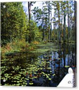 Cypress Swamps And Black Water Acrylic Print