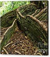 Cypress Tree On Hawaii Acrylic Print by Micah May
