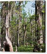 Cypress Trees And Water Hyacinth In Lake Martin Acrylic Print