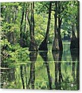 Cypress Trees Cross A Waterway Acrylic Print