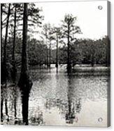 Cypress Trees In Louisiana Acrylic Print