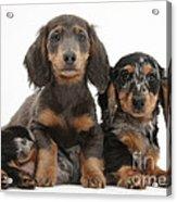 Dachshund And Merle Dachshund Pups Acrylic Print