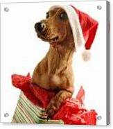 Dachshund Wearing A Santa Hat Acrylic Print