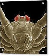 Daddy Long Legs Spider, Sem Acrylic Print