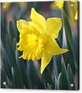 Daffodil Delight Acrylic Print