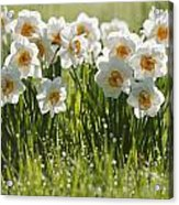 Daffodils In The Dew Covered Grass Acrylic Print