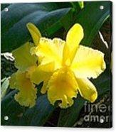 Daffodils In The Wild Acrylic Print