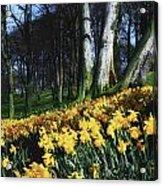 Daffodils Narcissus Flowers In A Forest Acrylic Print