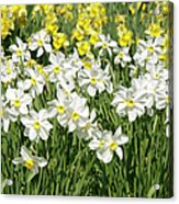 Daffodils (narcissus Sp.) Acrylic Print
