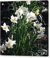 Daffodils Of Suzdal Acrylic Print