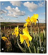 Daffs On Dartmoor Acrylic Print